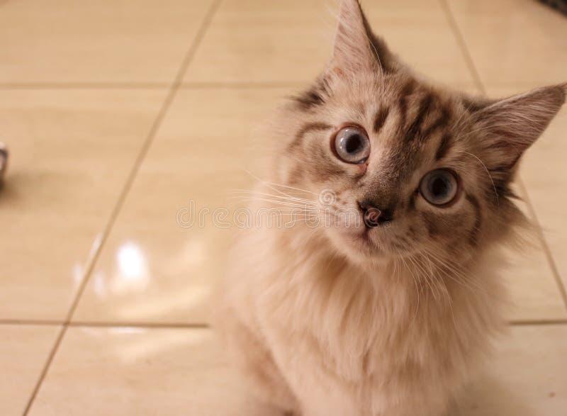 Gato do bebê que olha com olhos azuis grandes fotos de stock royalty free
