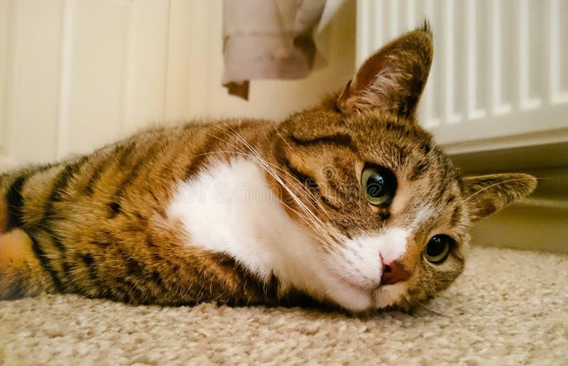 Gato do bichano que encontra-se para baixo imagens de stock royalty free