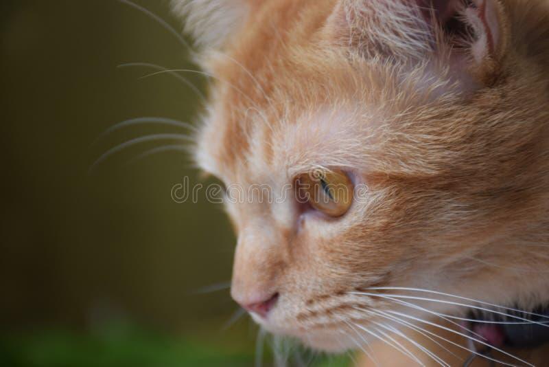 gato do bocejo dos gatos que olha a intenção do gato imagem de stock royalty free