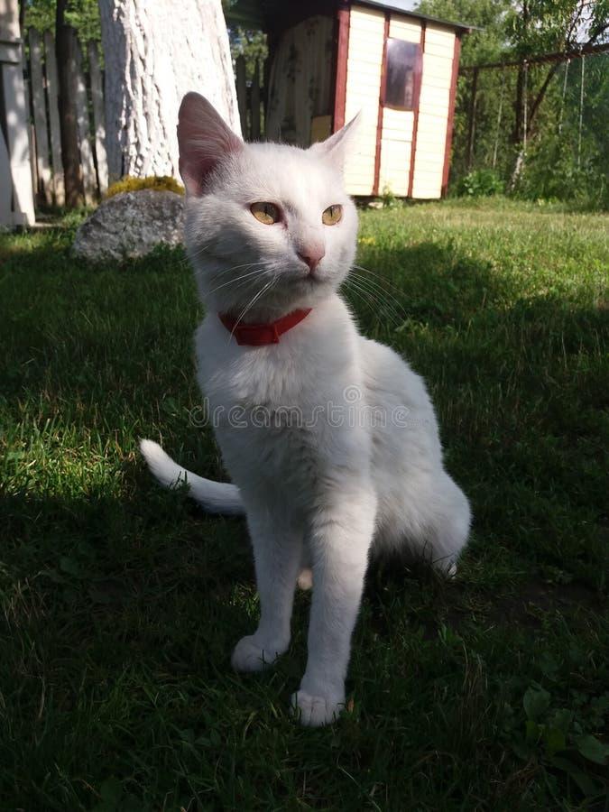 Gato do branco de Tom imagem de stock royalty free