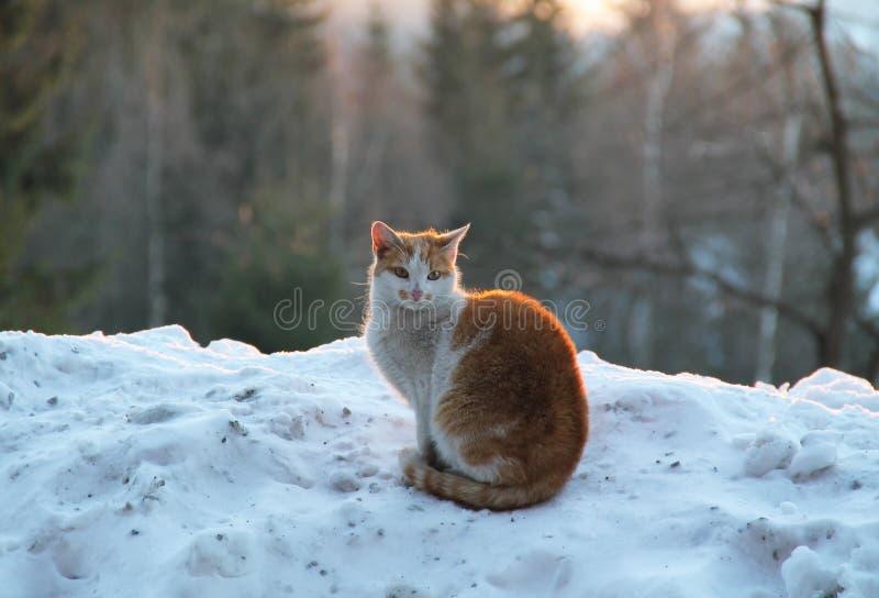 Gato do branco e do Brown imagens de stock royalty free