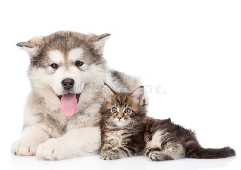 Gato do cão do malamute do Alasca e de racum de maine junto Isolado no branco fotos de stock