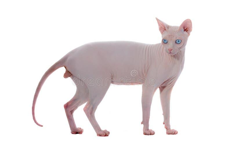 Gato do canadense de Sphynx imagem de stock royalty free