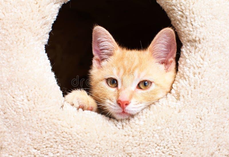 Gato do gatinho do gengibre imagem de stock royalty free