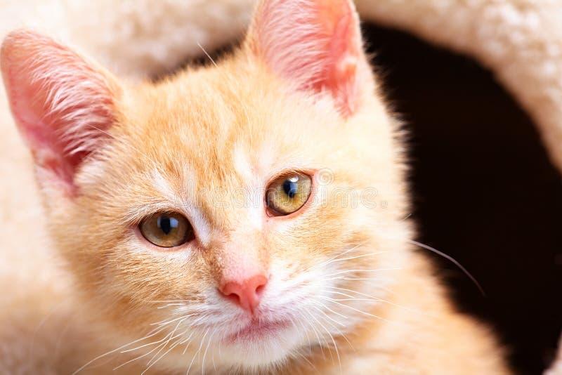 Gato do gatinho do gengibre fotografia de stock royalty free