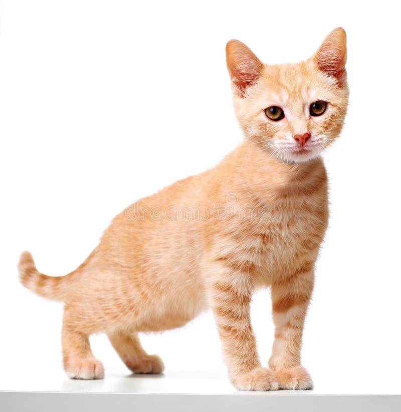 Gato do gatinho do gengibre foto de stock royalty free