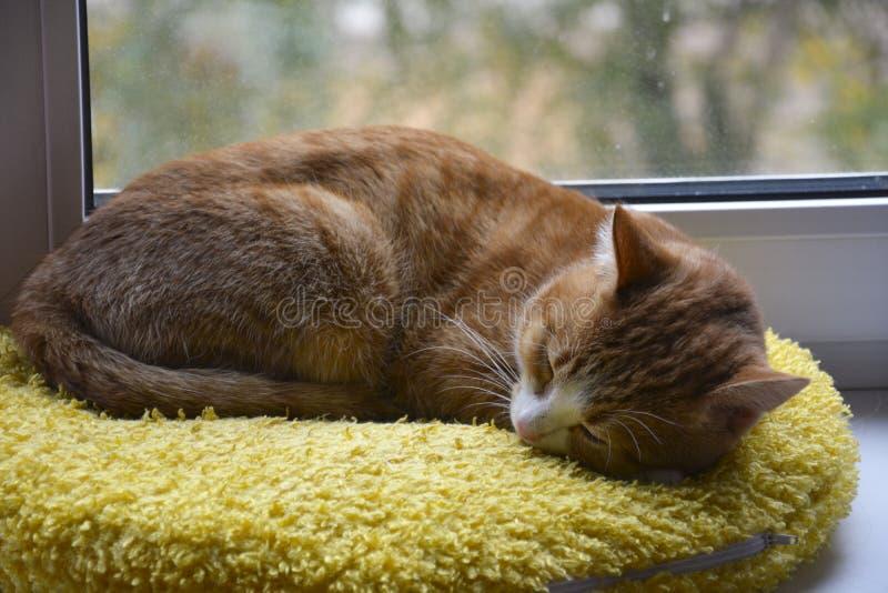 Gato do gengibre adormecido na janela fotografia de stock royalty free