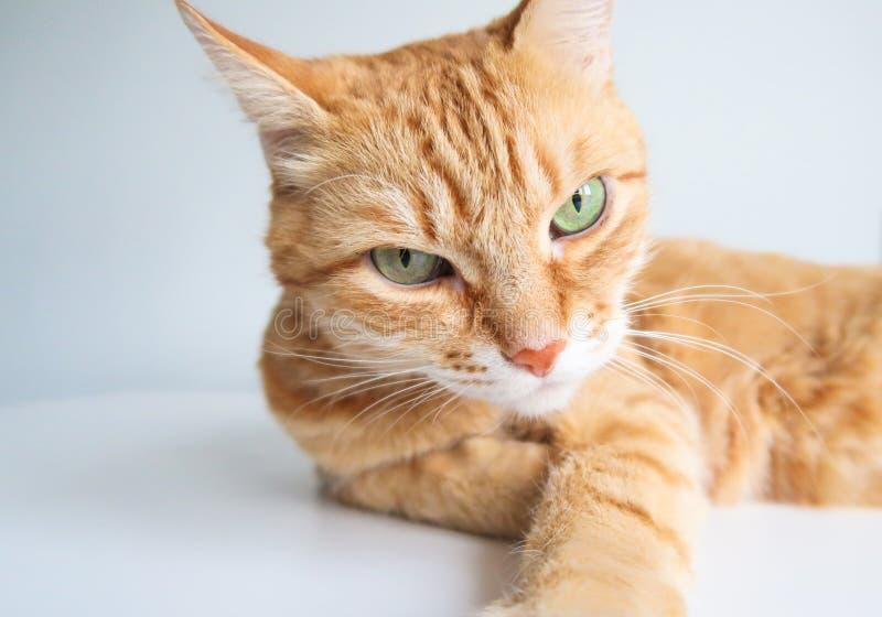Gato do gengibre que encontra-se e que olha seriamente Gato bonito com olhos verdes imagens de stock royalty free
