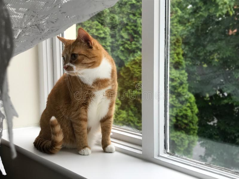 Gato do gengibre que espera pela janela fotos de stock royalty free
