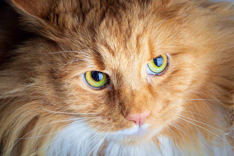Gato do gengibre que olha seriamente imagem de stock