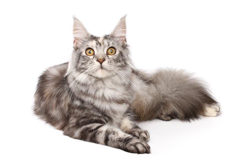 gato do Maine-coon imagens de stock
