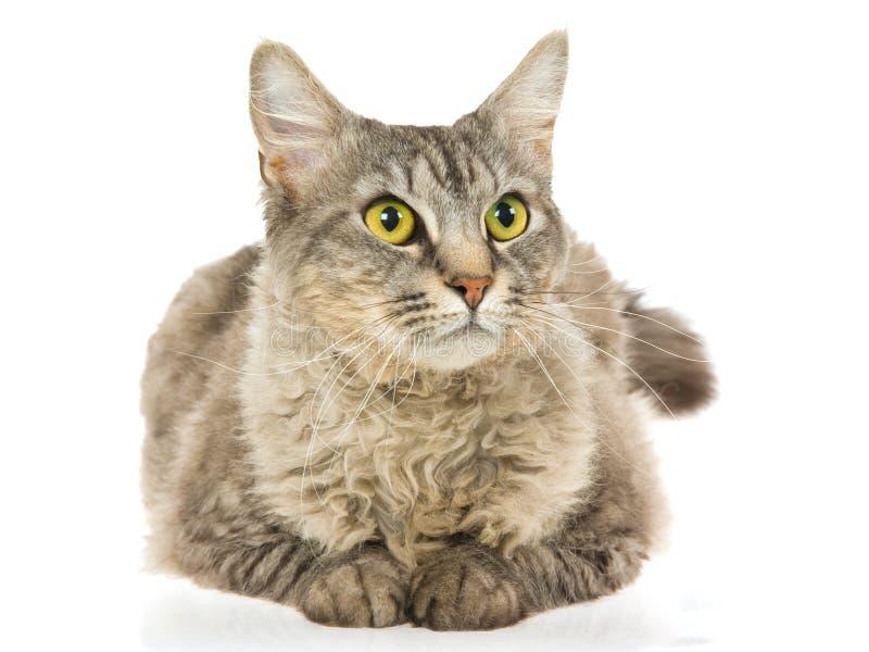 Gato do Perm do La no fundo branco foto de stock royalty free