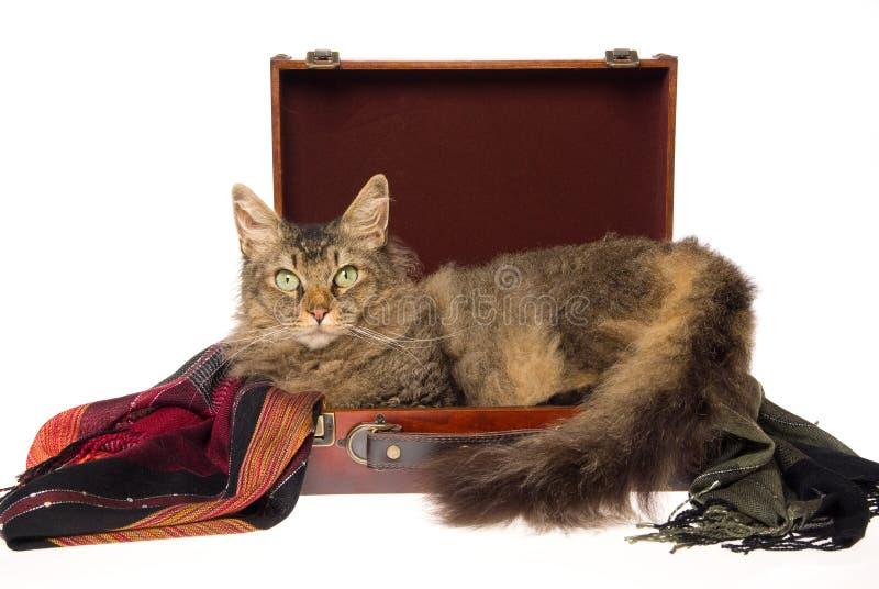 Gato do Perm do La que encontra-se na mala de viagem marrom imagem de stock