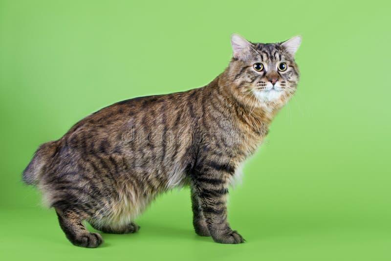 Gato do rabo cortado de Kuril fotos de stock
