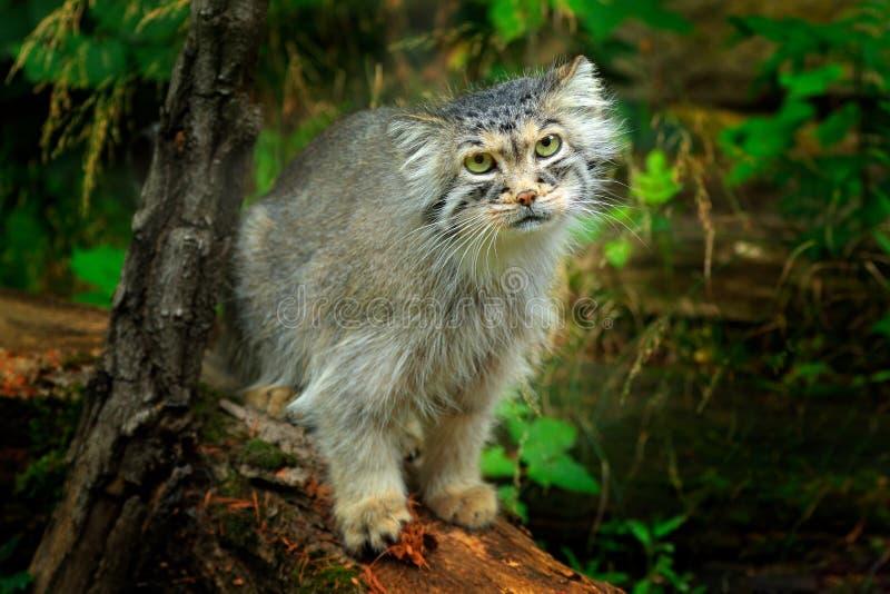 Gato do ` s de Manul ou de Pallas, manul de Otocolobus, gato selvagem bonito de Ásia Cena dos animais selvagens da natureza Anima imagem de stock royalty free