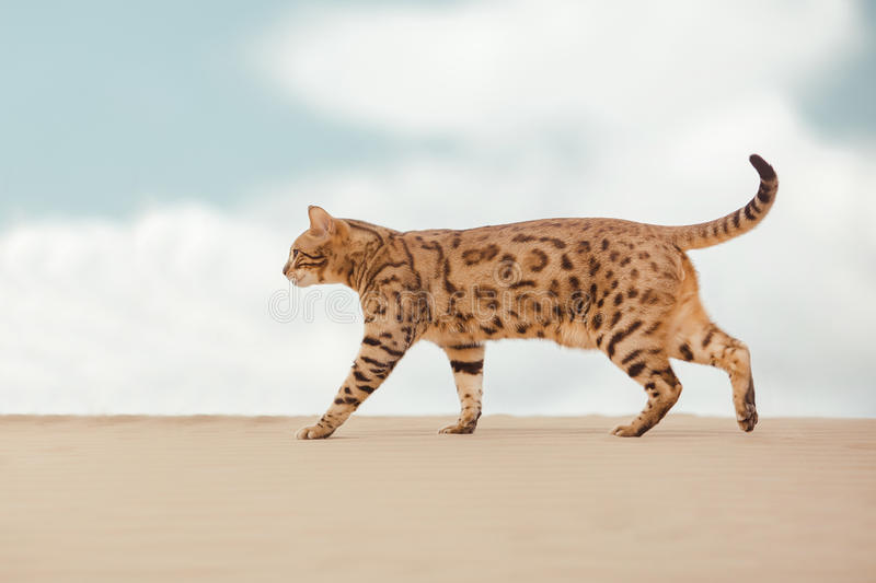 Gato do savana no deserto fotografia de stock royalty free