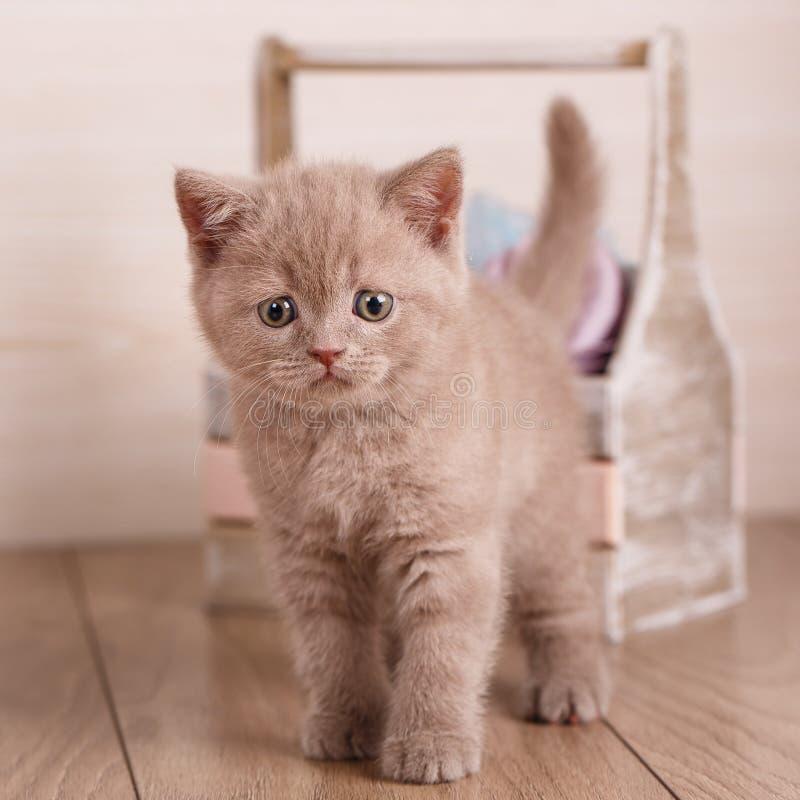 Gato do Scottish da cor de Cyamine foto de stock