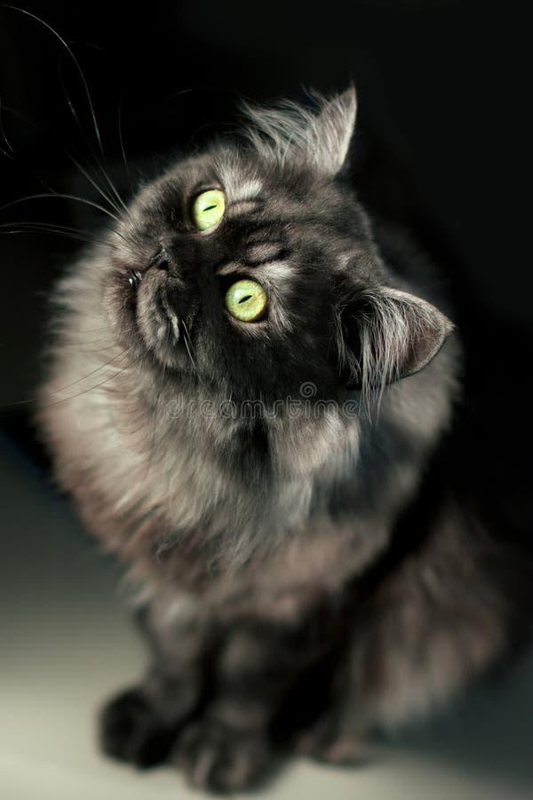 Gato do Siberian do híbrido fotos de stock