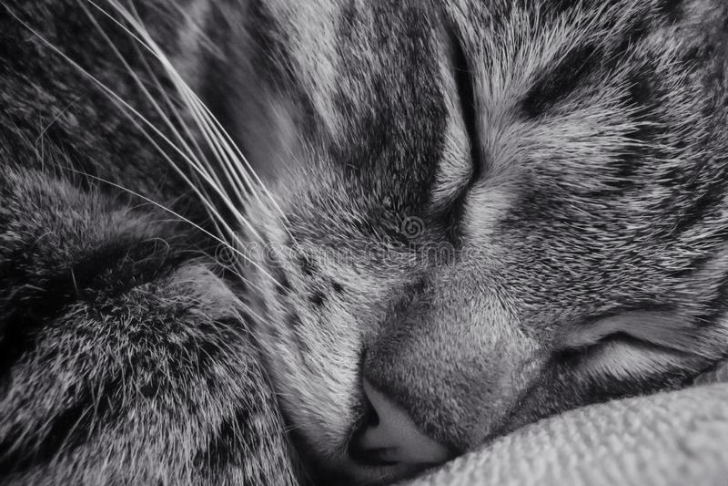 Gato do sono Close-up fotografia de stock royalty free