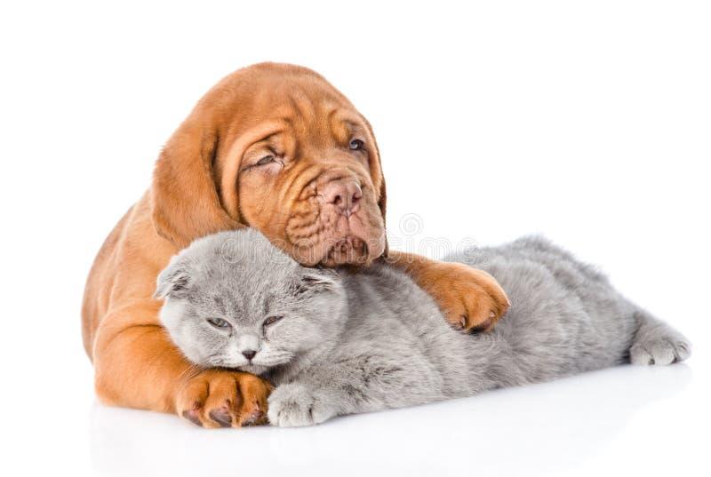 Gato do sono dos abraços do cachorrinho do Bordéus Isolado no fundo branco imagens de stock