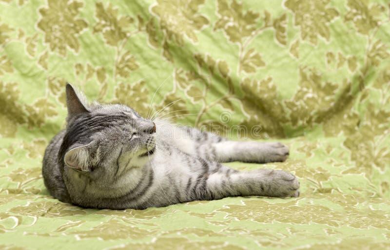 Gato do sono no fundo home natural, fim preguiçoso da cara do gato acima, gato preguiçoso sonolento pequeno, animal doméstico, ga foto de stock