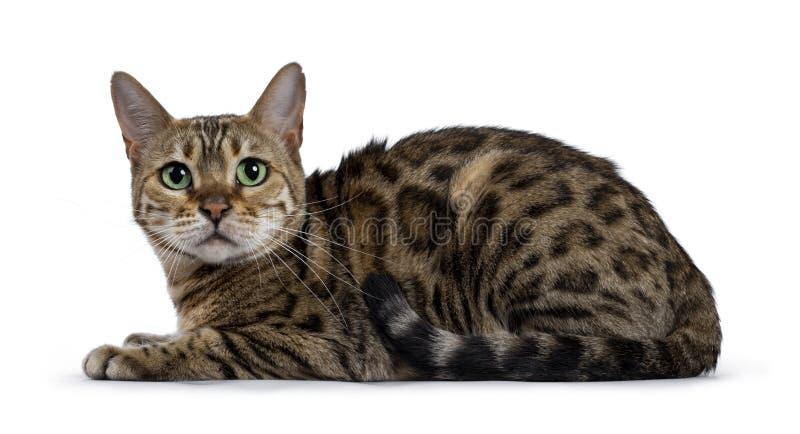 Gato doce de Bengal no branco fotografia de stock royalty free