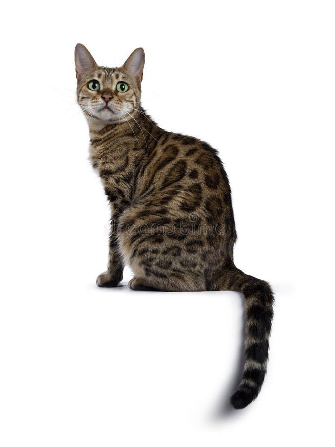 Gato doce de Bengal no branco foto de stock royalty free