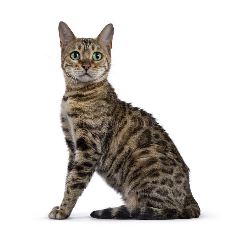 Gato doce de Bengal no branco imagens de stock royalty free