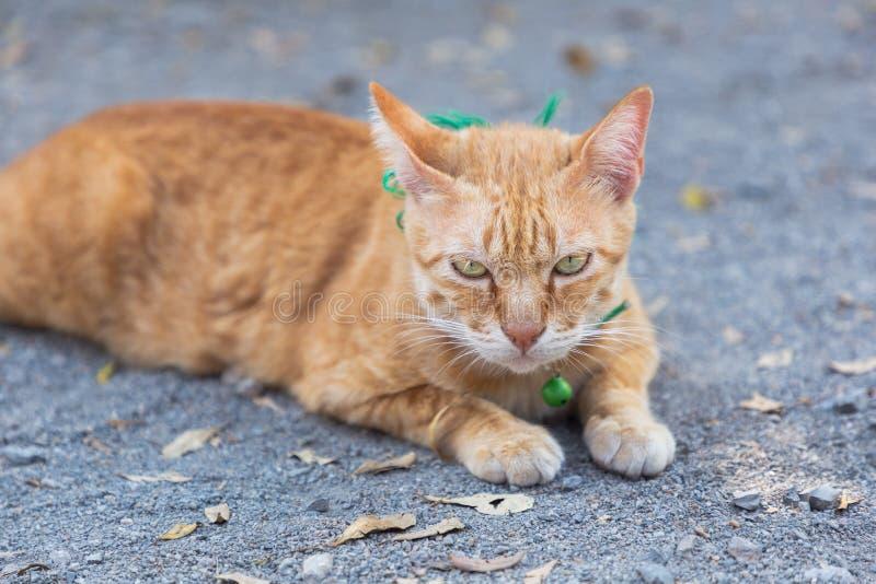 Gato doméstico bonito que encontra-se em terras Gato alaranjado e branco tailandês fotos de stock