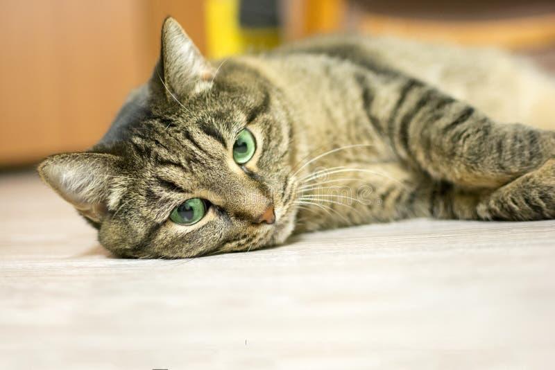 Gato doméstico cinzento com olhos verdes, encontro de descanso no assoalho foto de stock