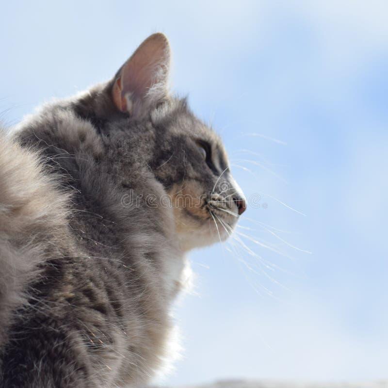 Gato doméstico cinzento do shorthair fora contra um céu azul fotografia de stock