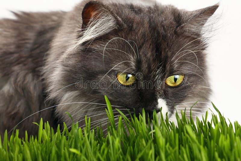 Gato doméstico cinzento na grama verde fresca sobre o branco fotos de stock royalty free