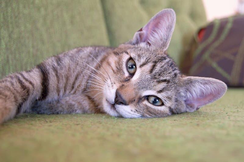 Gato doméstico de encontro, Eslováquia foto de stock