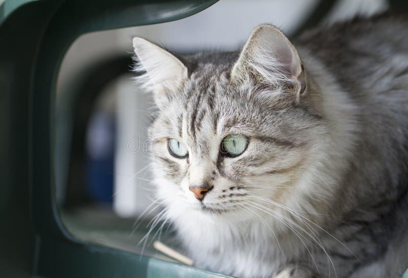 Download Gato Doméstico De Prata Bonito Da Raça Siberian No Jardim Imagem de Stock - Imagem de outdoor, feline: 80101969