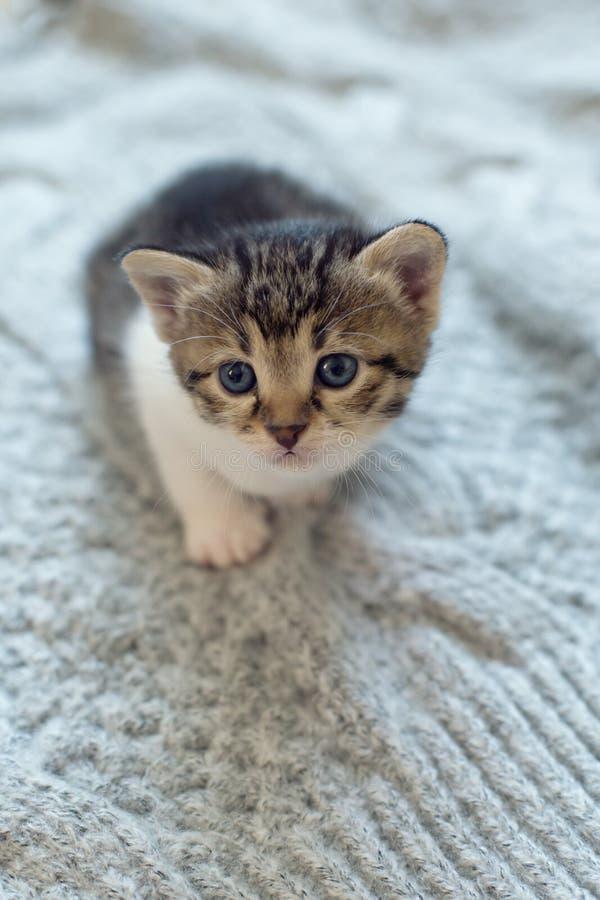 Gato doméstico pequeno no fundo de confecção de malhas de lãs imagens de stock