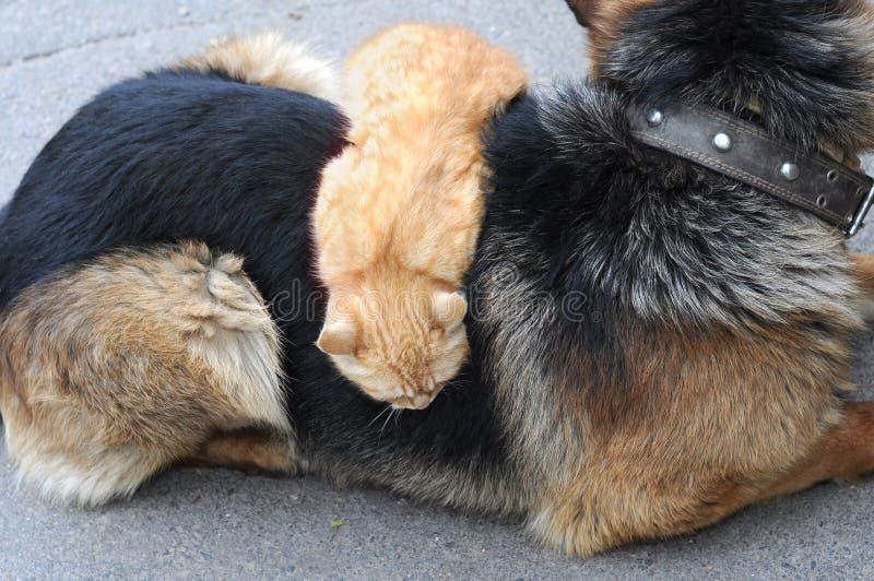 Gato doméstico que relaxa na parte traseira do cão no quintal foto de stock royalty free