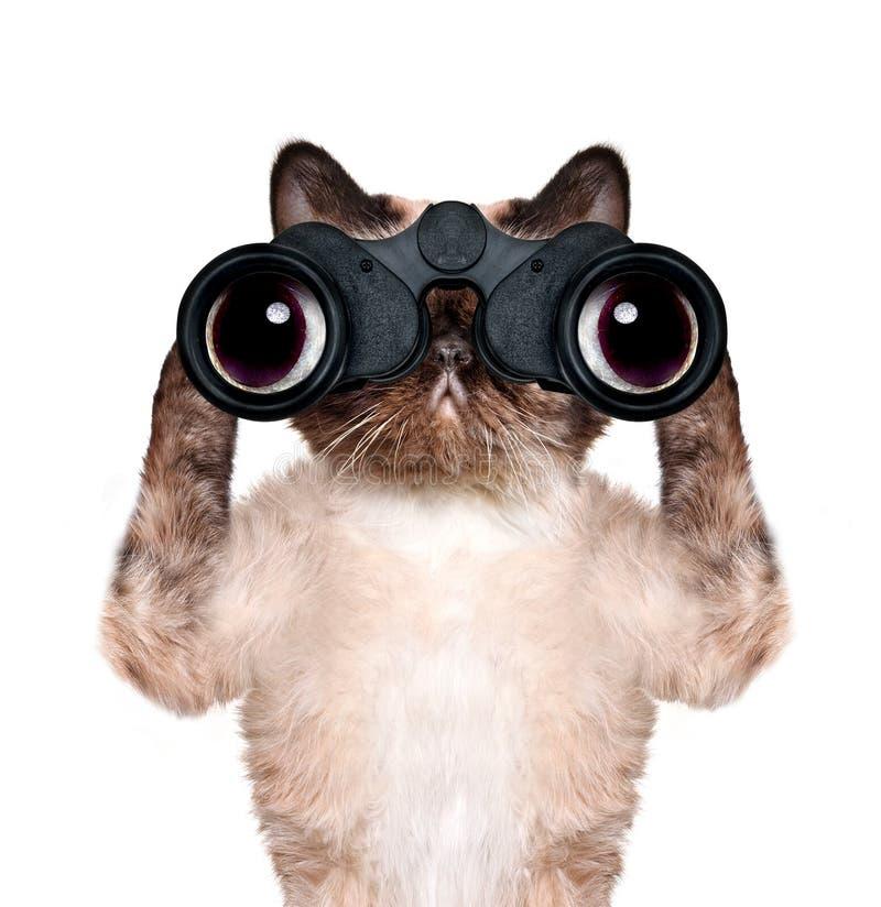 Gato dos binóculos que procura, olhando e observando com cuidado fotos de stock royalty free