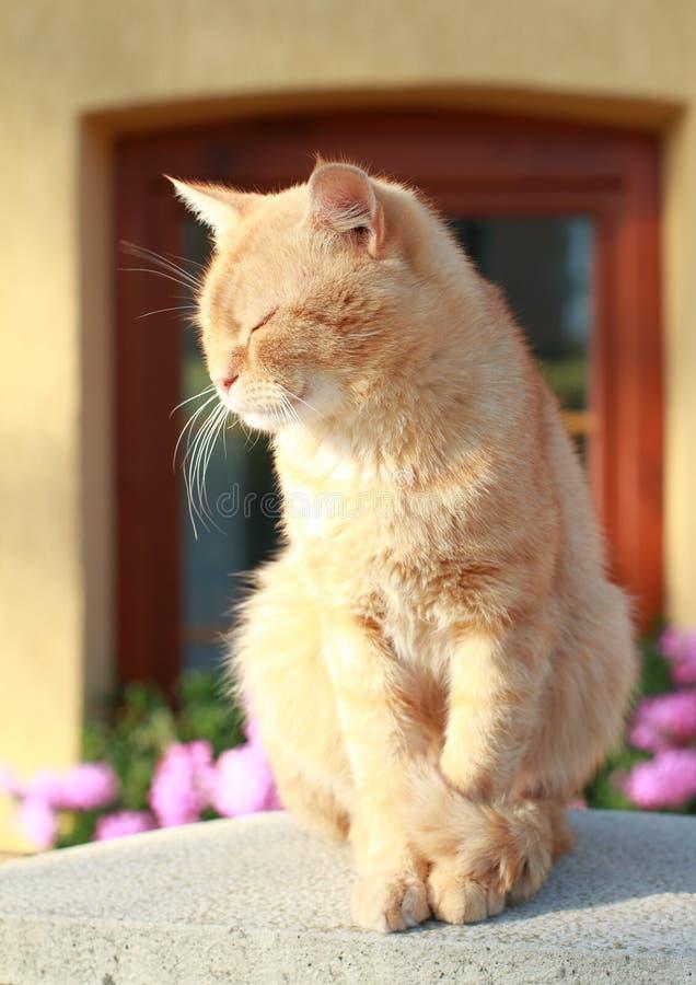 Download Gato dos nobres de Orrange foto de stock. Imagem de gato - 26511194