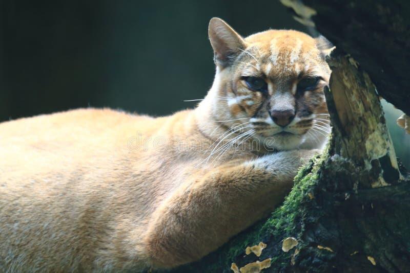 Gato dourado asiático fotografia de stock