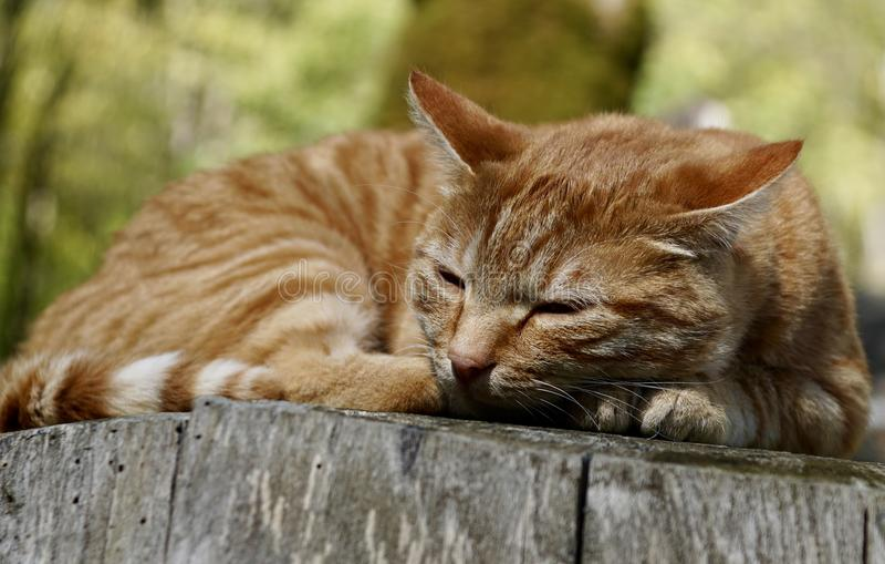 Gato, Dragon Li, fauna, suiças fotos de stock