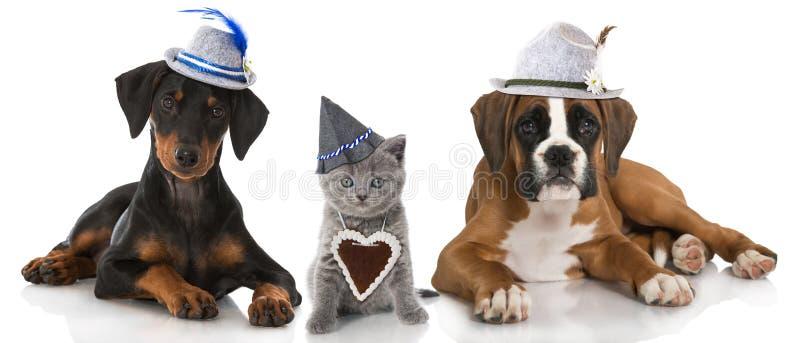 Gato e cães bávaros fotos de stock