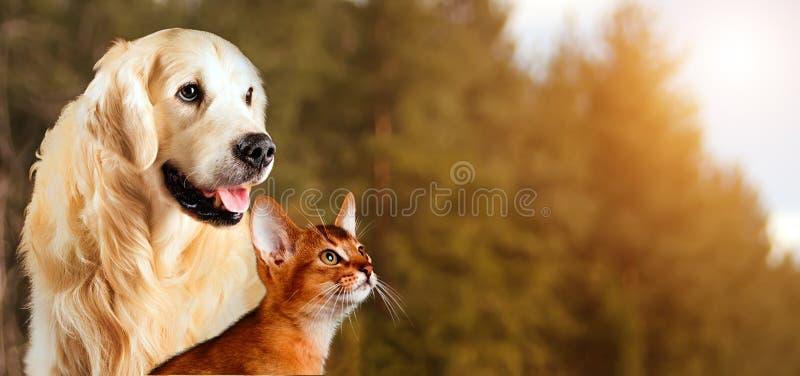 Gato e cão, gato abyssinian, golden retriever junto no fundo calmo da natureza do outono fotos de stock