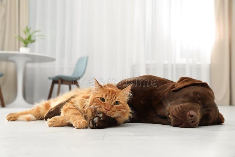 Gato e cão que olham junto a câmera no assoalho Amigos macios imagens de stock royalty free