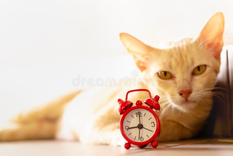 Gato e despertador vermelho fotos de stock royalty free