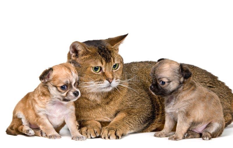 Gato e filhotes de cachorro da chihuahua imagem de stock royalty free