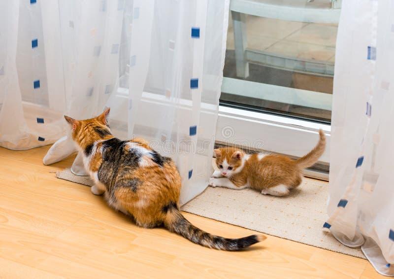 Gato e gatinho da mãe que sentam-se perto das cortinas Poucos gengibre e gatinho branco que olham a cauda do gato tricolor adulto imagem de stock royalty free