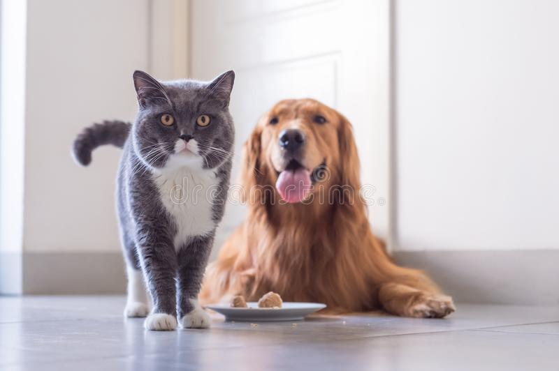 Gato e golden retriever de Ingleses Shorthair fotografia de stock royalty free