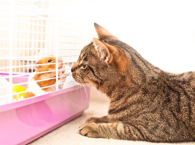 Gato e hamster foto de stock royalty free