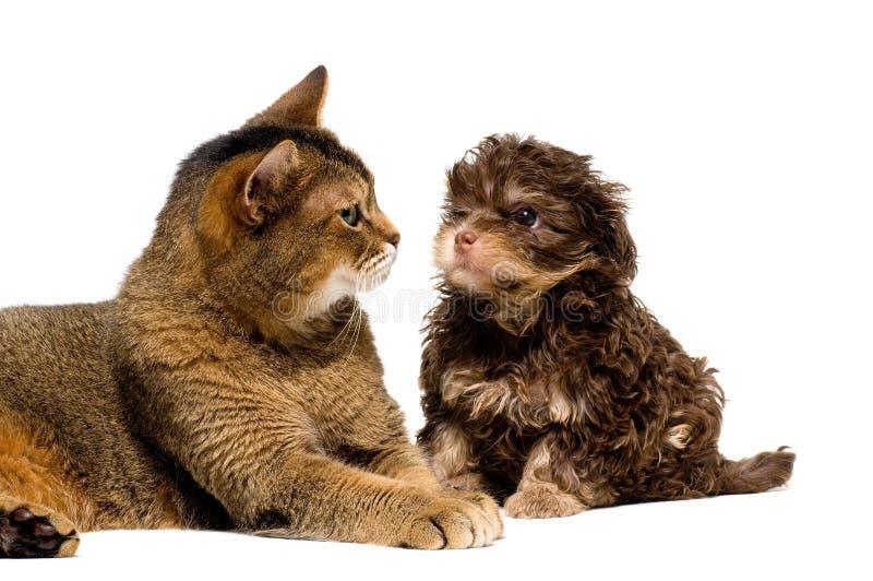 Gato e lapdog no estúdio fotos de stock royalty free