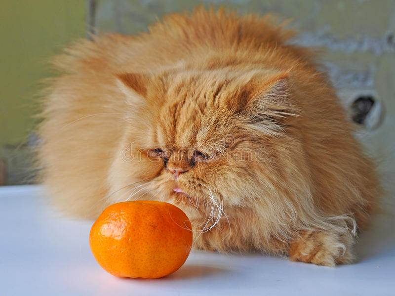 Gato e laranja imagens de stock royalty free